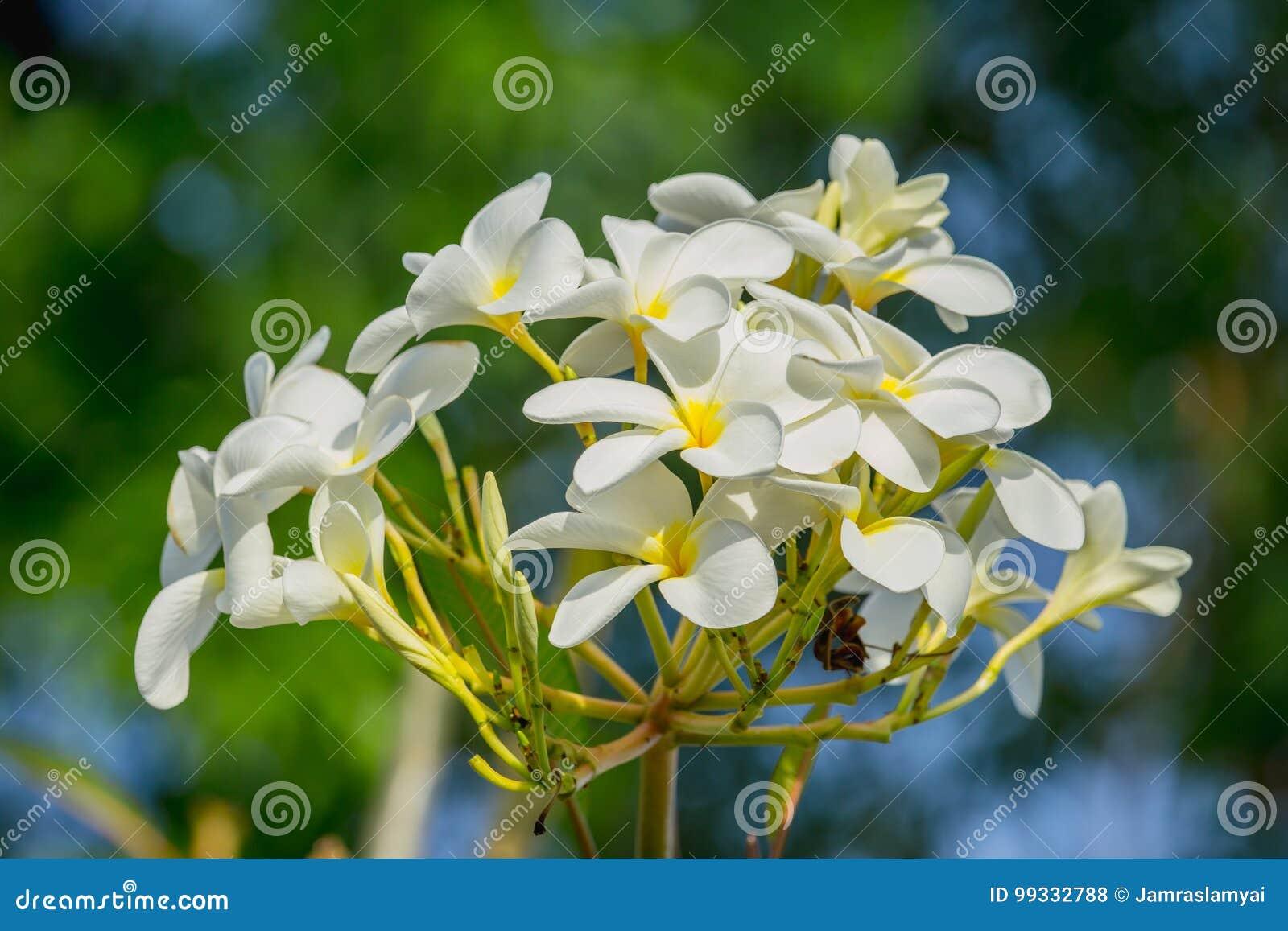 Close Up Plumeria White Flower Adenium Tropical Flower Stock Photo