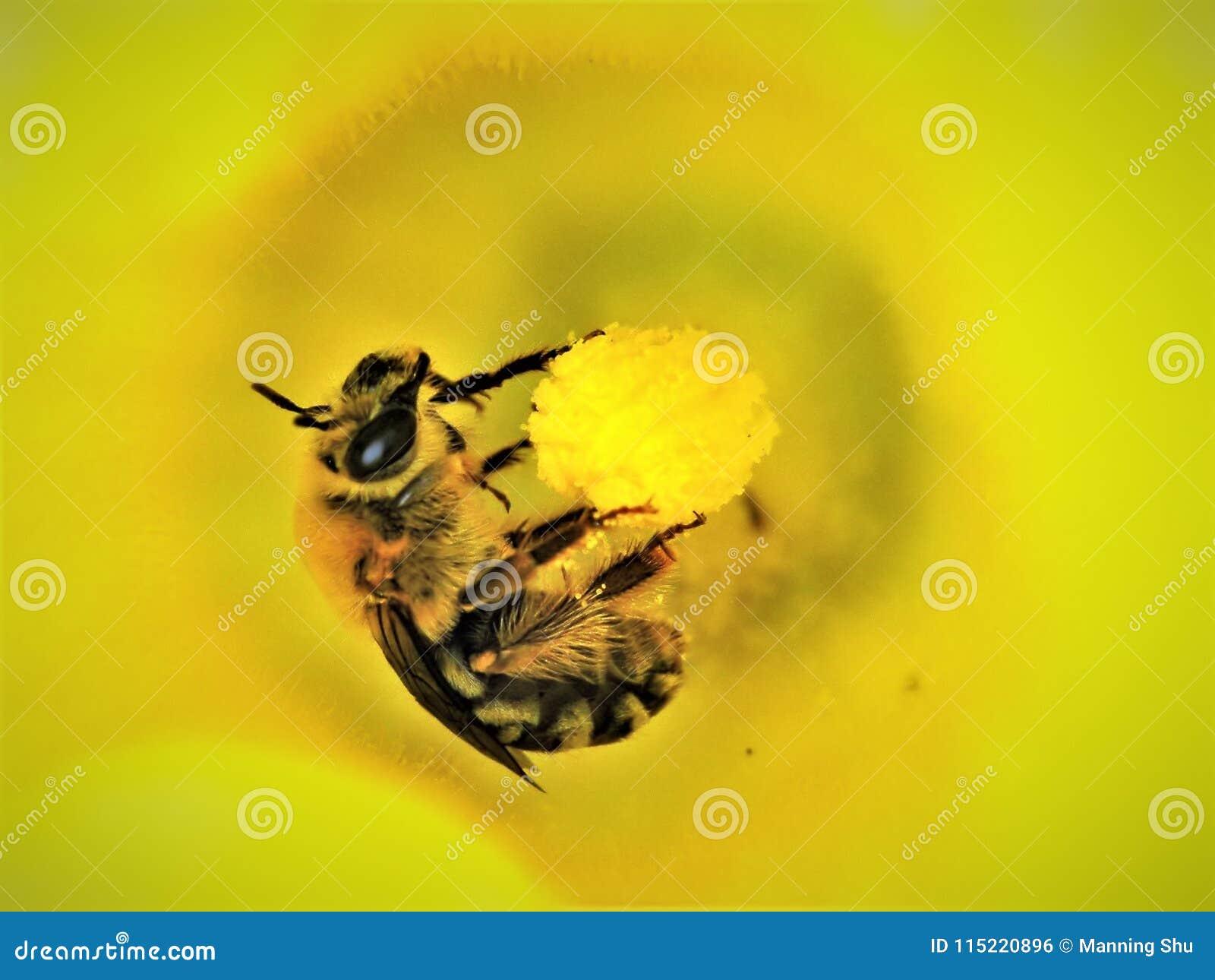 Bumble Bee on Pumpkin Flower Macro