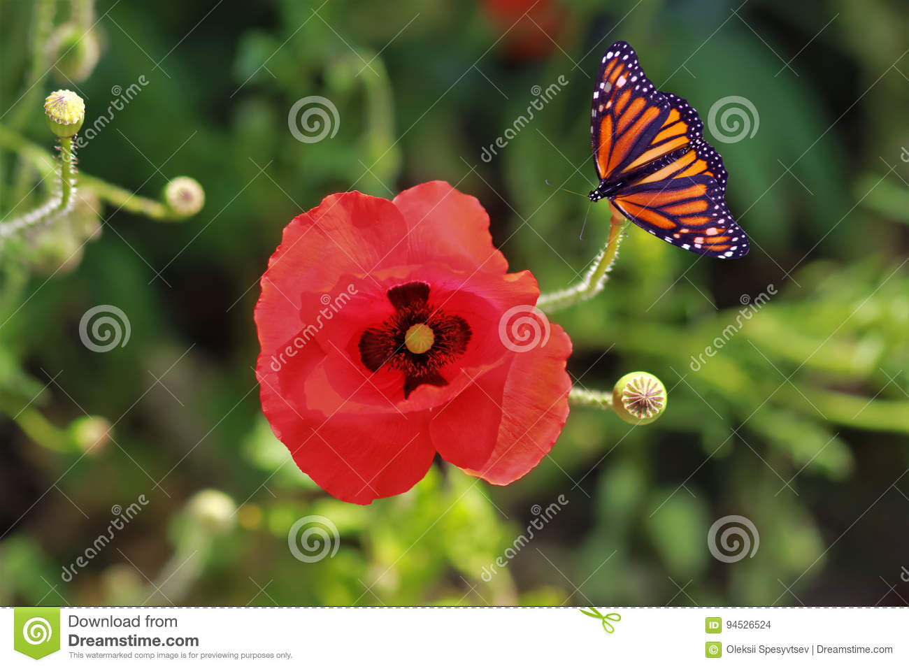 Close Up Of A Poppy Flower And A Butterfly Stock Photo Image Of