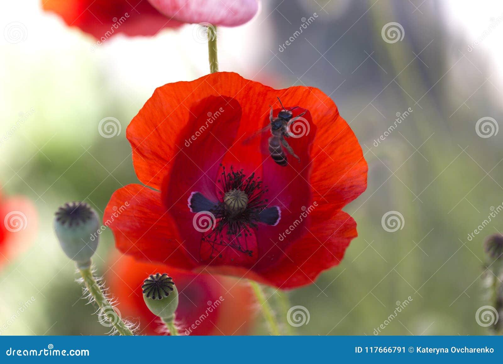 Close Up Poppy Head Red Poppyd Poppy Flowers Field Papaver
