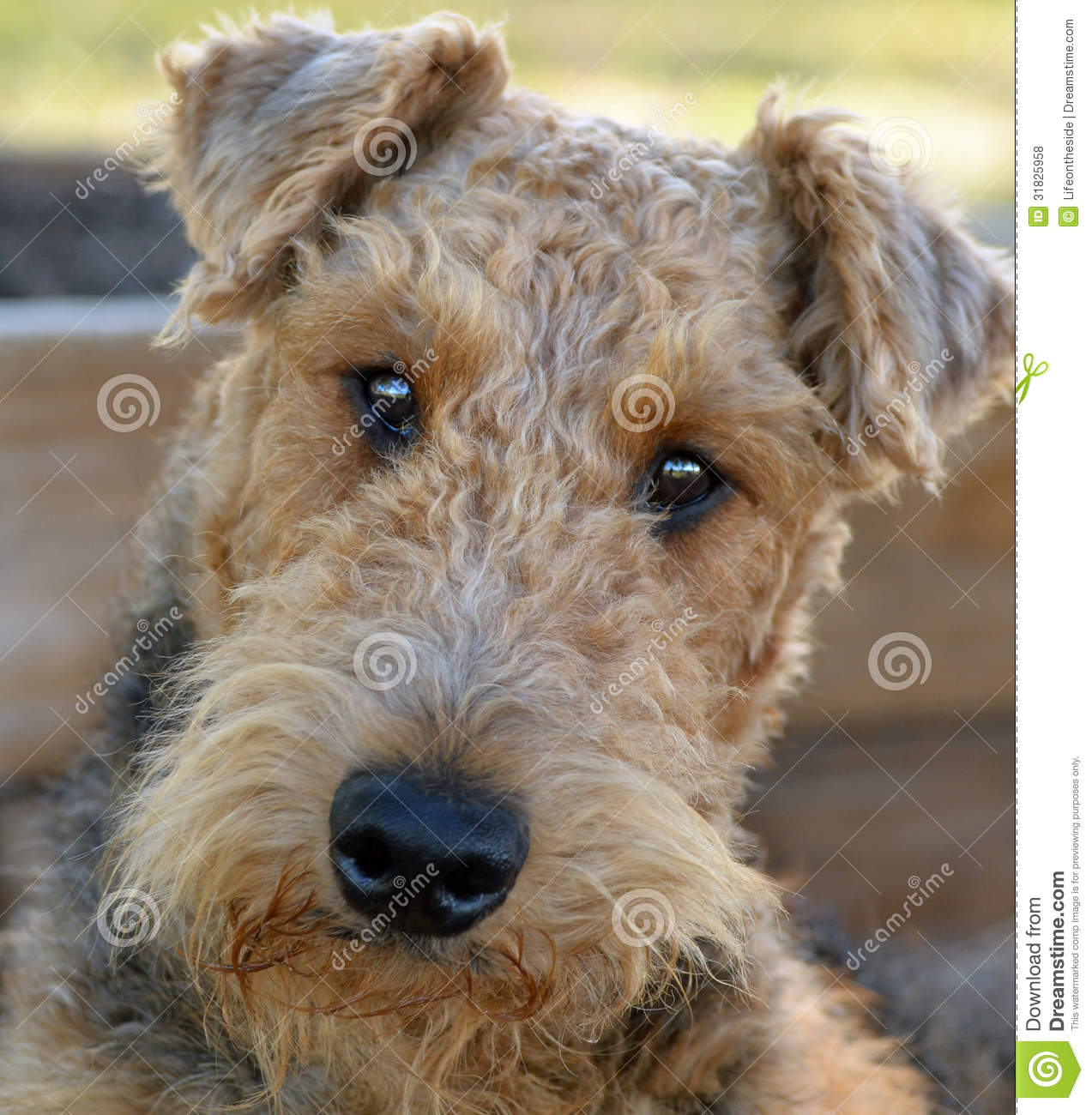 Close Up Portrait Of Adorable Airedale Terrier Dog Royalty Free Stock ...