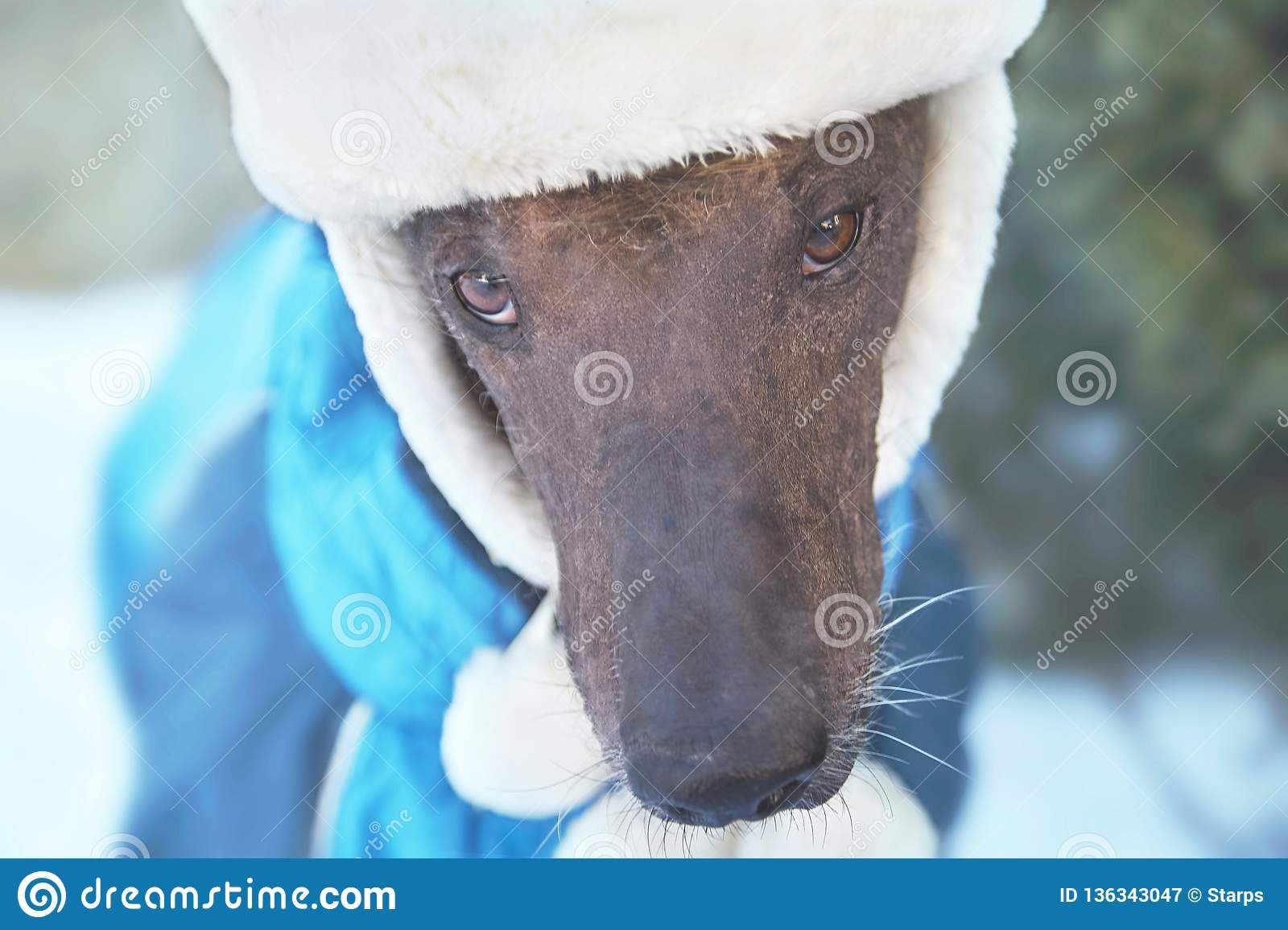 Close-up portrait of adult Xolotizcuintle dog Mexican Hairless in winter hat and clothes. Beautiful purebred dog with harsh and