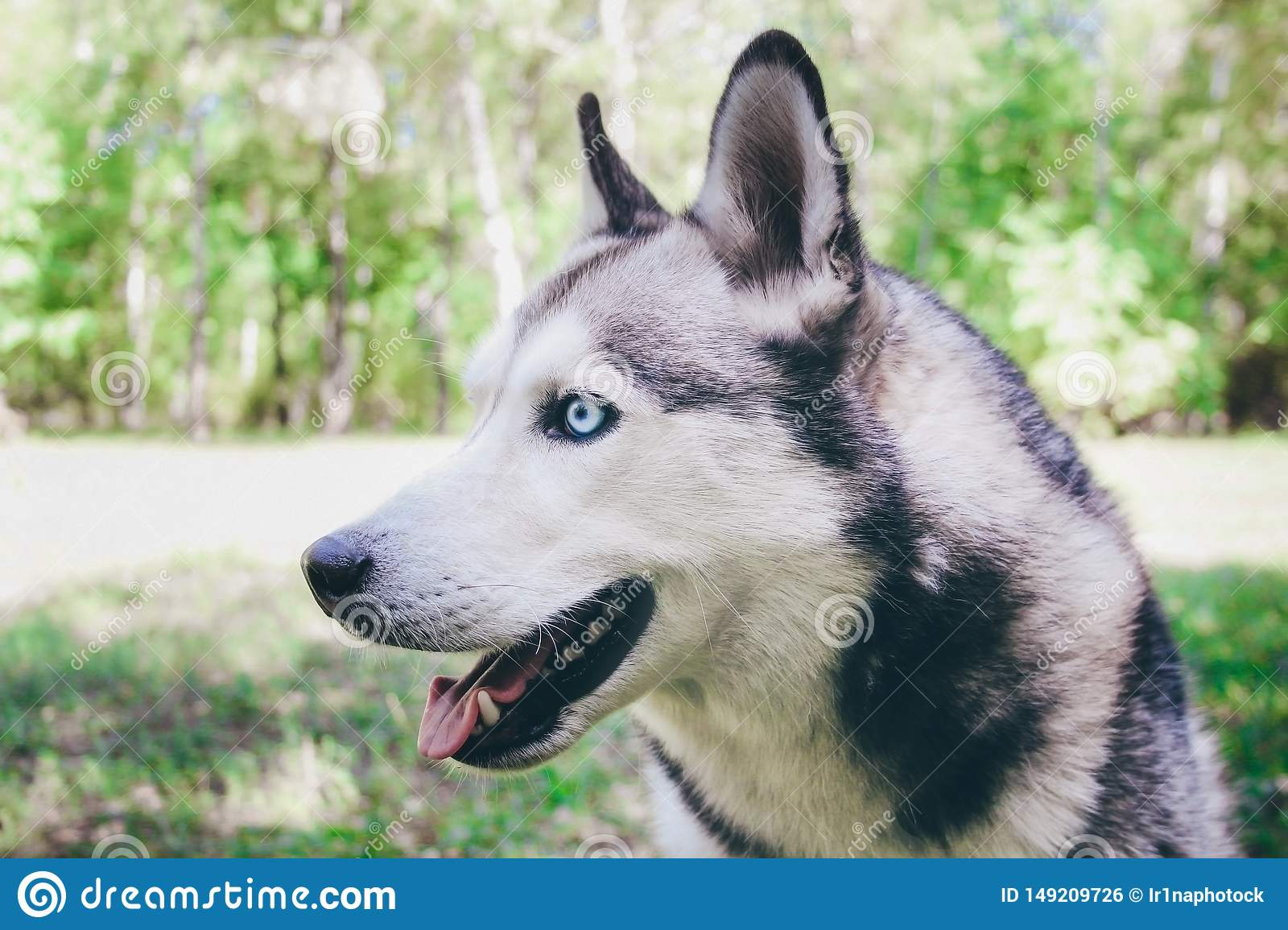 Siberian Husky on the grass in a park