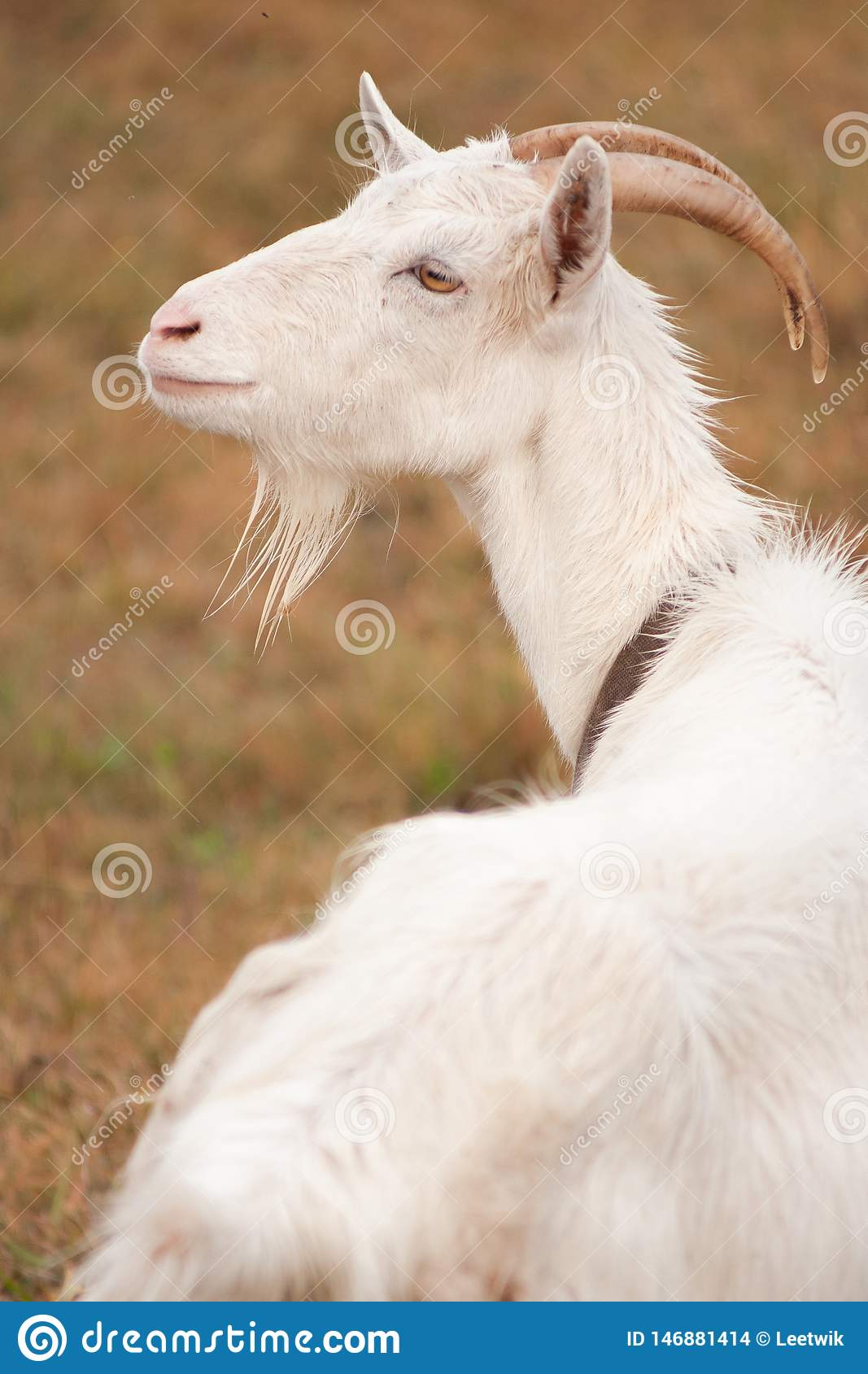 Close-up portrait of a beautiful white goat with a wistful gaze in nature