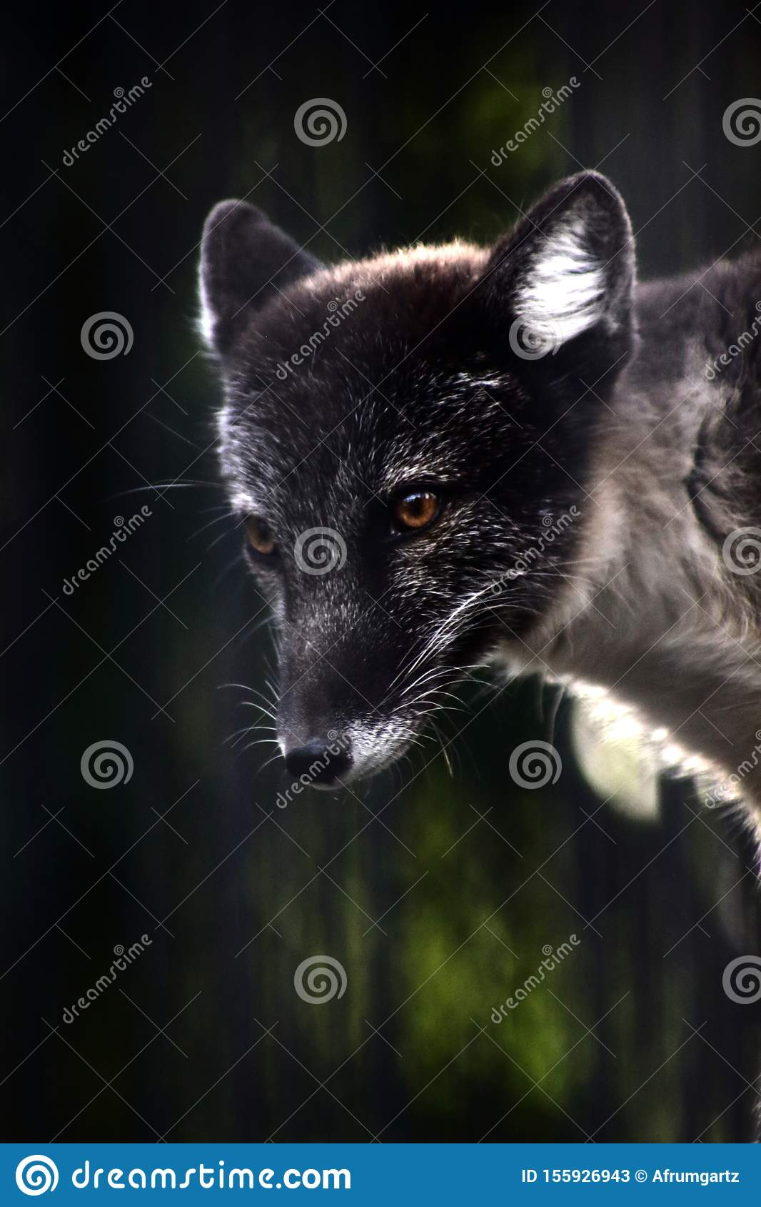 Close up portrait of black fox