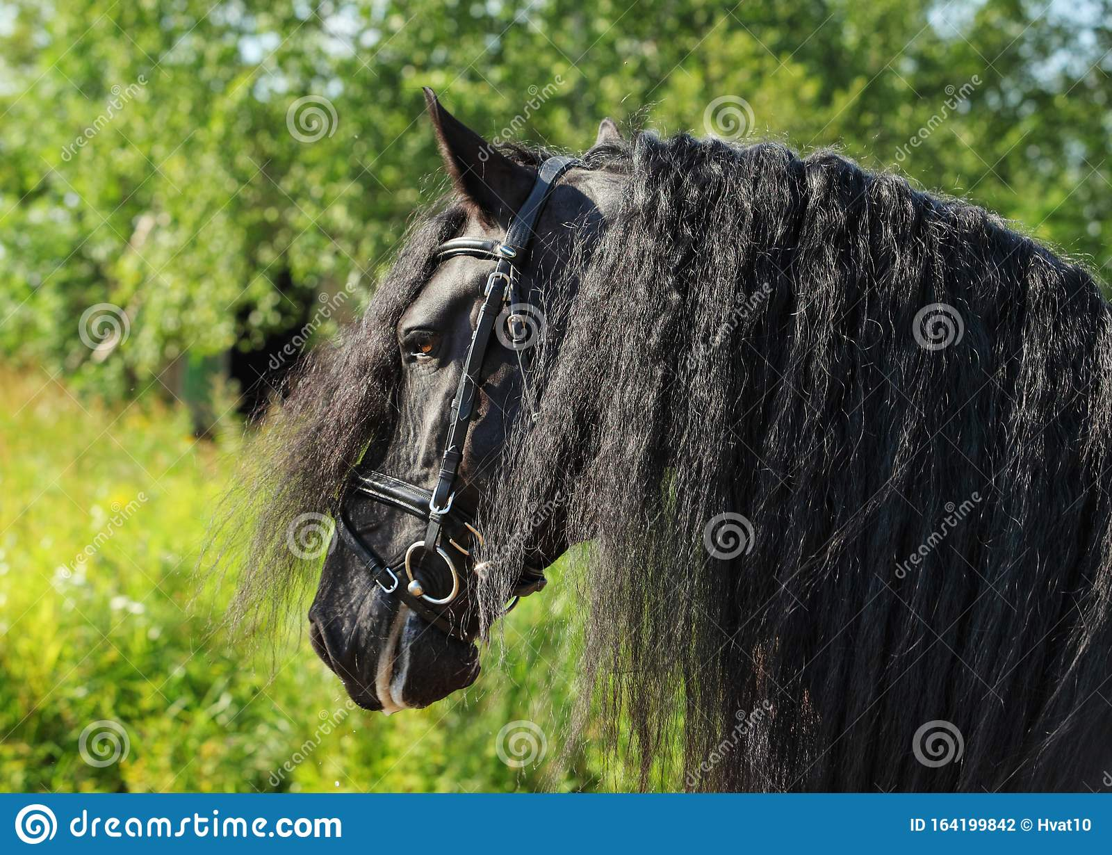 Close Up Portrait Of Black Friesian Draft Horse Stock Photo Image Of Closeup Forest 164199842