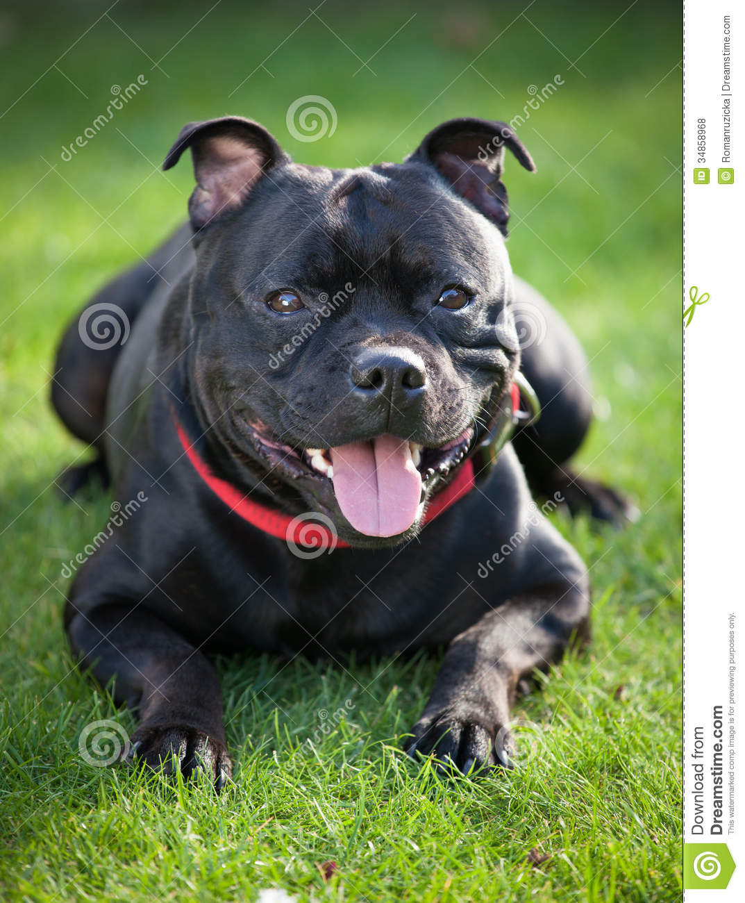 Close-up Portrait Of Black Staffordshire Bull Terrier ...