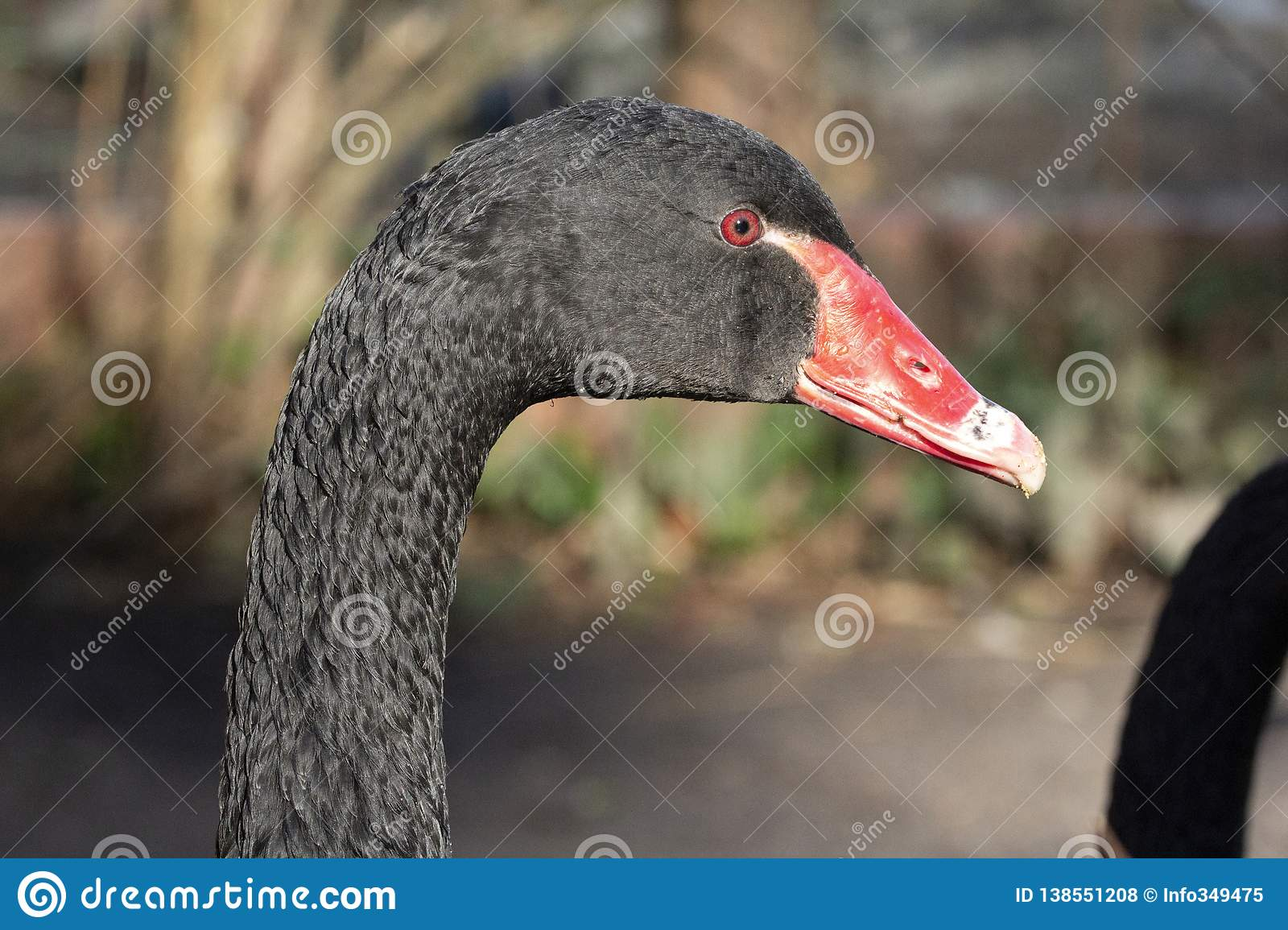 Close up portrait of a black swan with red beak and red eyes.