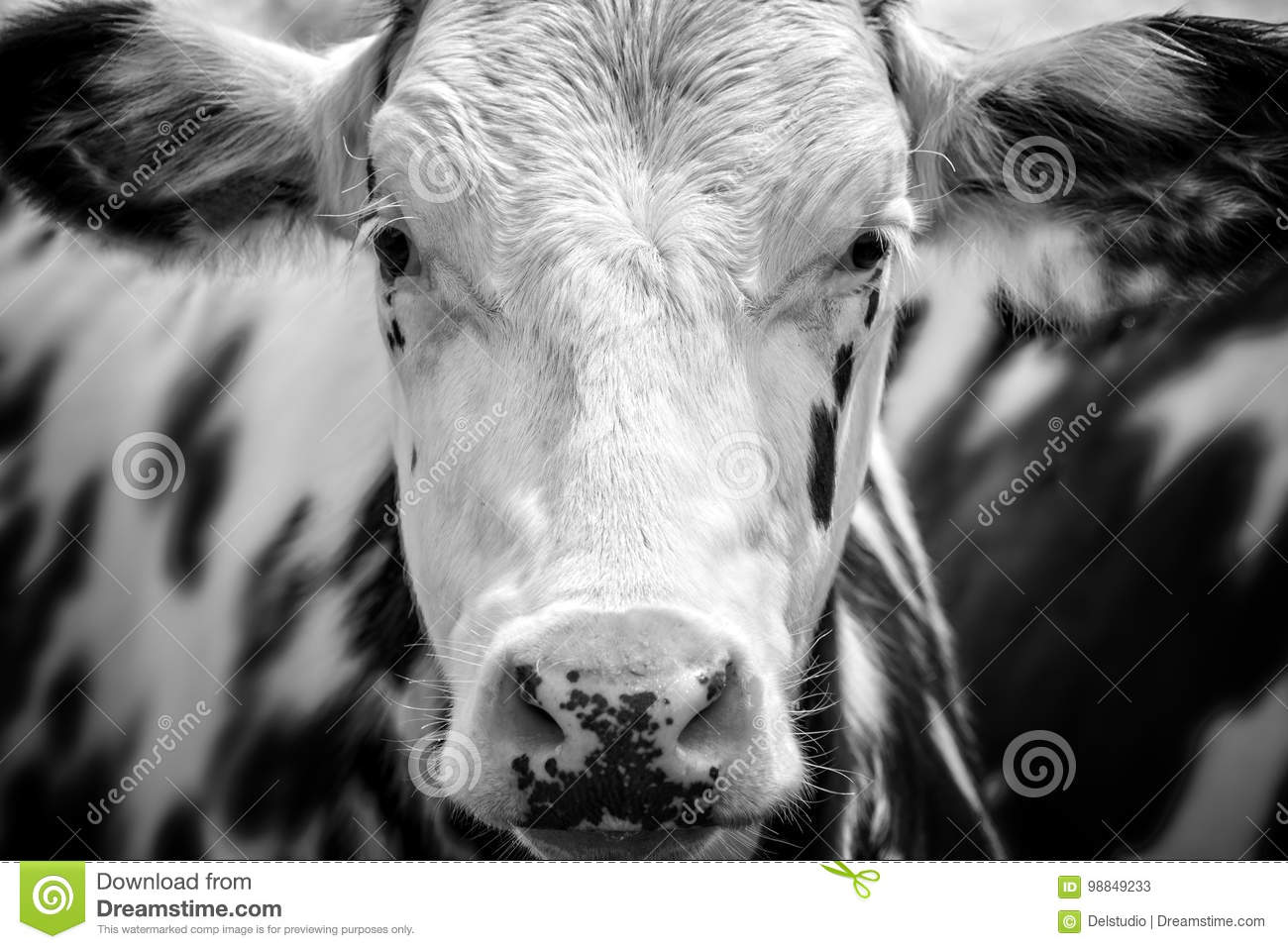 Close up portrait of a black and white cow stock image image of