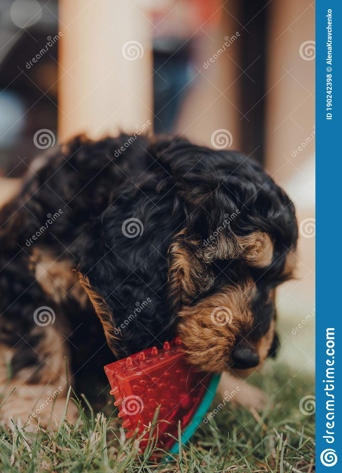 Close Up Of A Cute Cockapoo Puppy Playing With A Chewy Toy In A Garden Selective Focus Stock Photo Image Of Level Blur 190242398