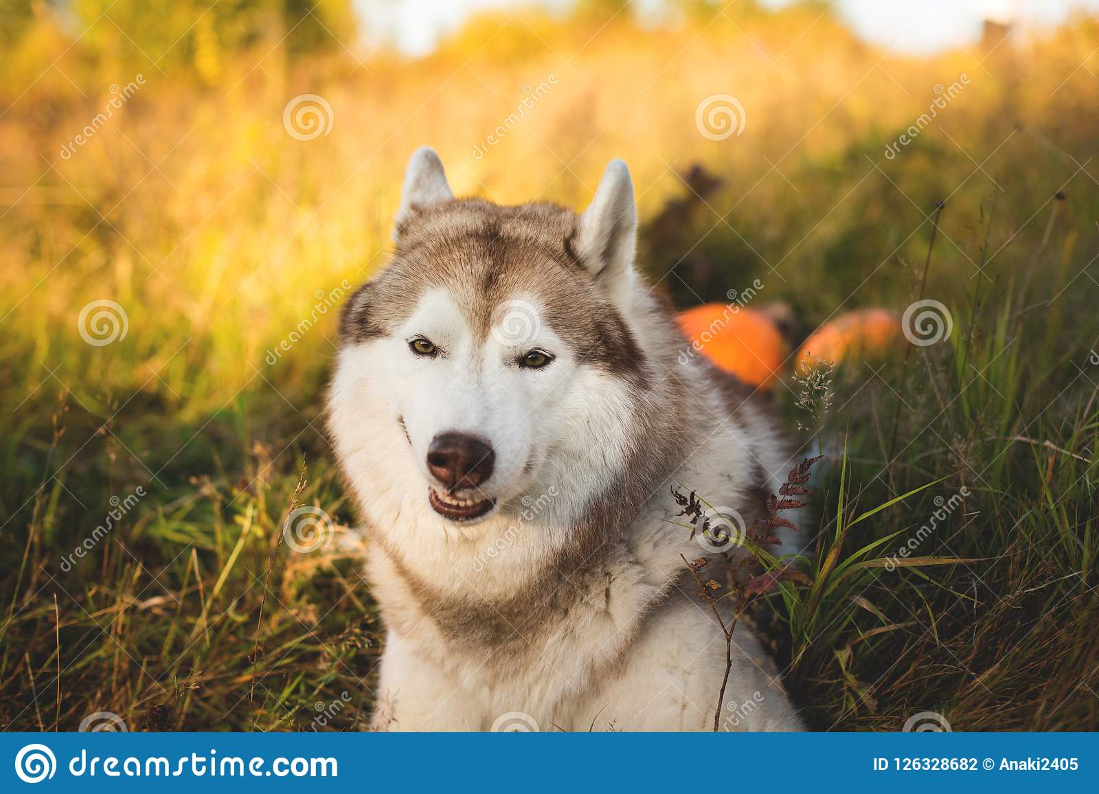Close-up Portrait of funny dog breed siberian husky with happy smile lying next to a pumpkin for Halloween