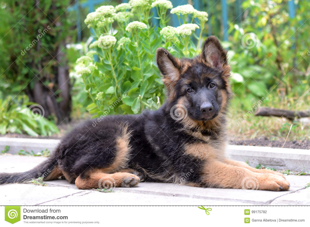 Close Up Portrait Of German Shepherd Puppy Cute Fluffy Little Pet Stock Photo Image Of Active Pedigree 99175782