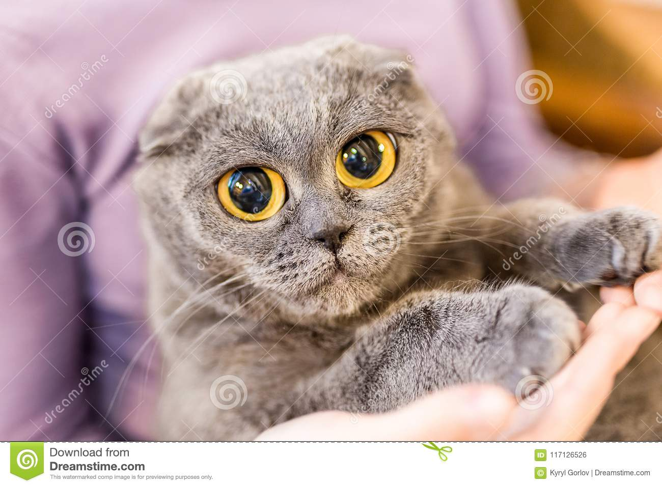 Close up portrait of grey fluffy cat with huge eyes on owner hand. Fat satisfied cat with big yellow eyes. Home pet care