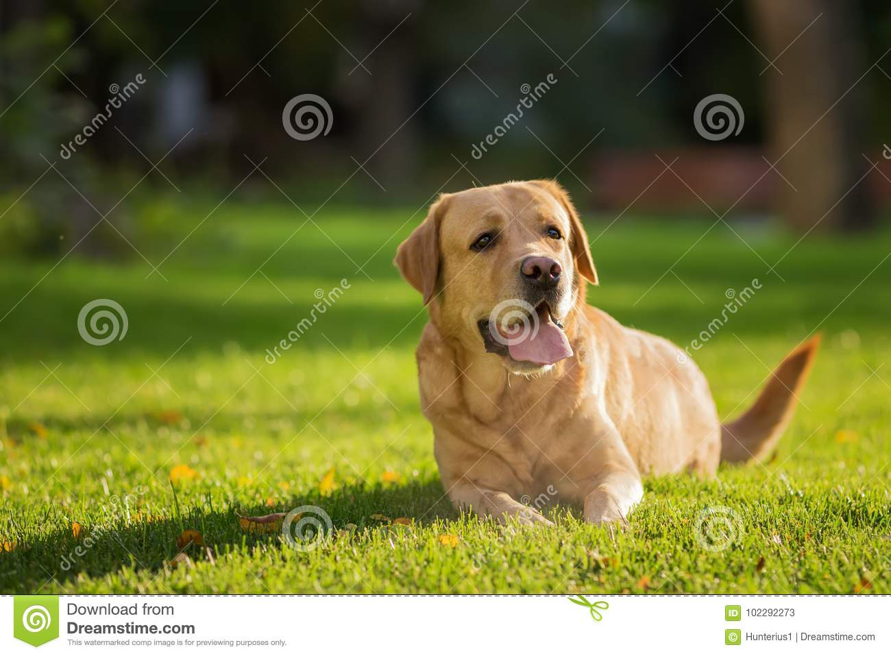 Close up portrait of the happy Labrador Retriever dog on the green lawn in park