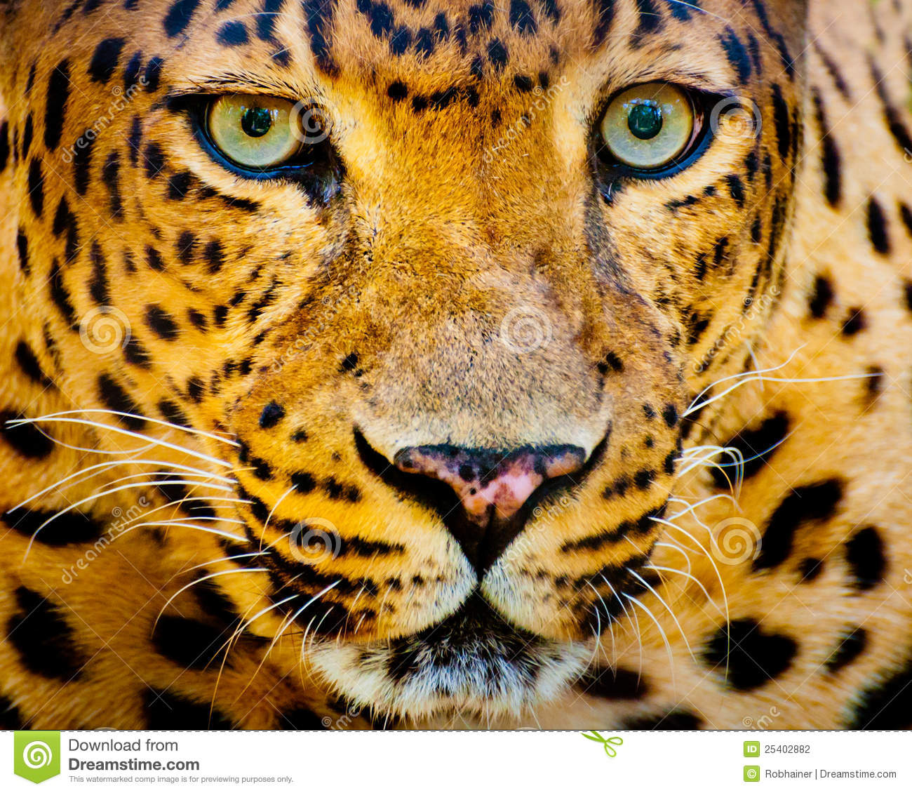 leopard eye close up - photo #27