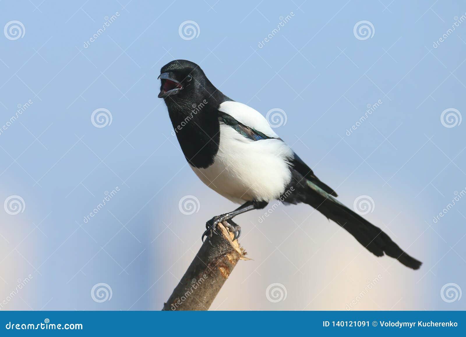 Close-up portrait of a magpie