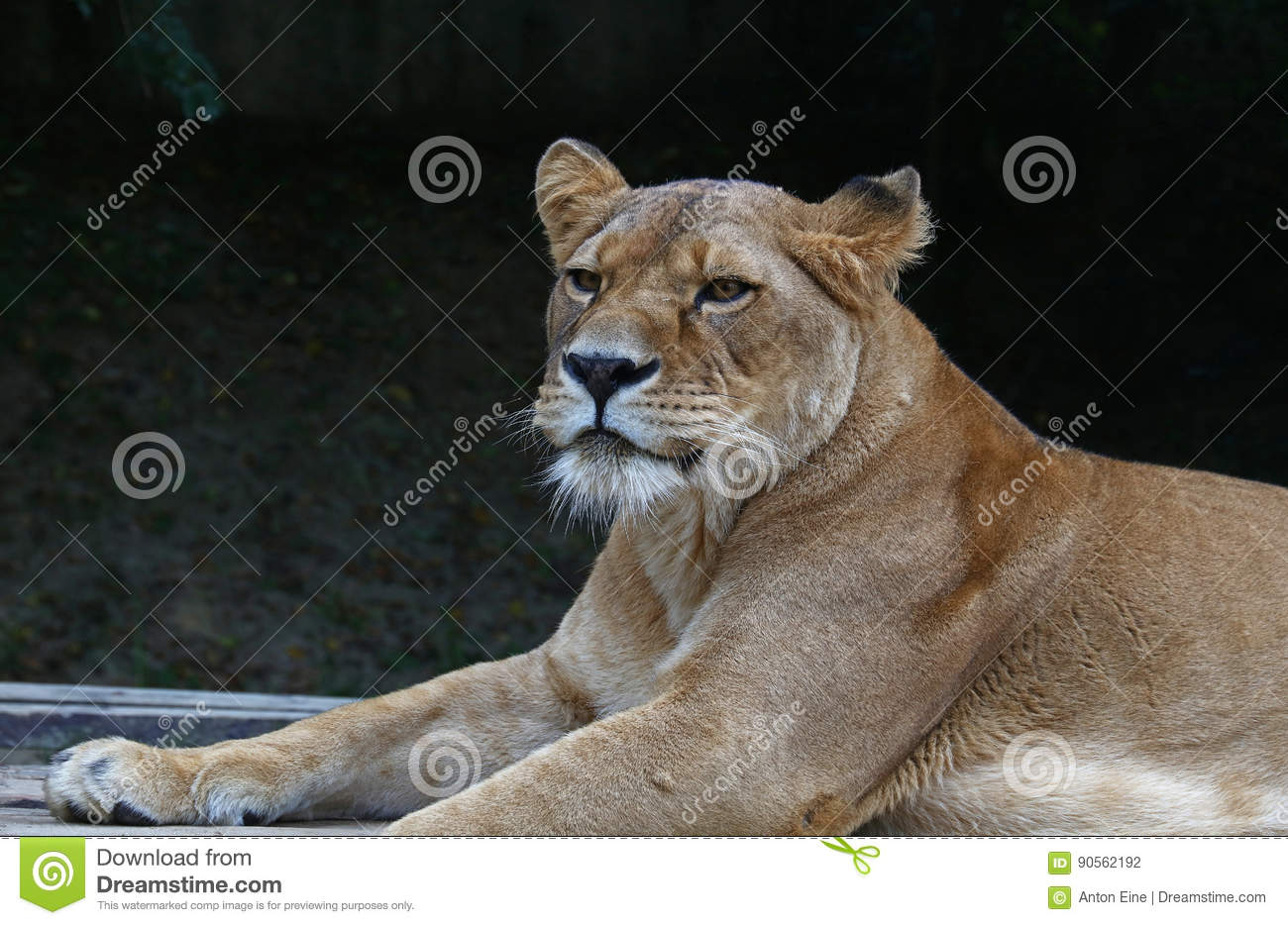 Close up portrait of male African lioness