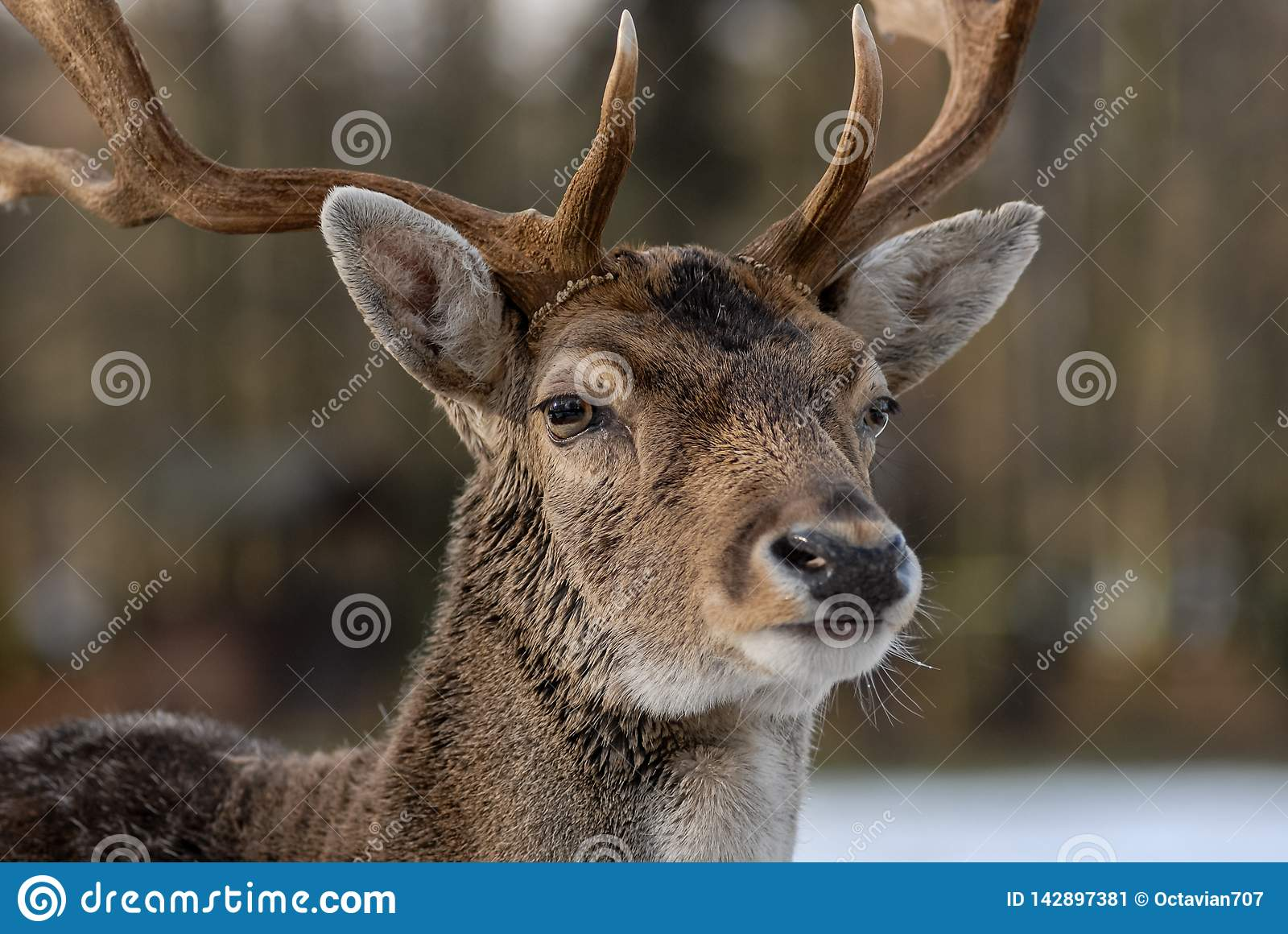 Portrait of deer in the forest with blurry background