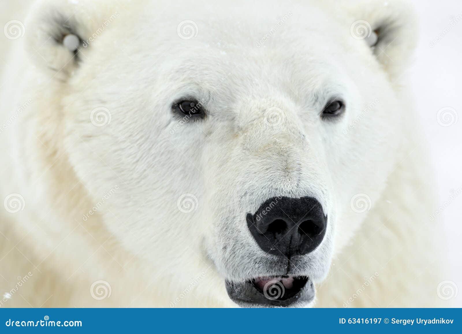 Close up portrait Male polar bear (Ursus maritimus)