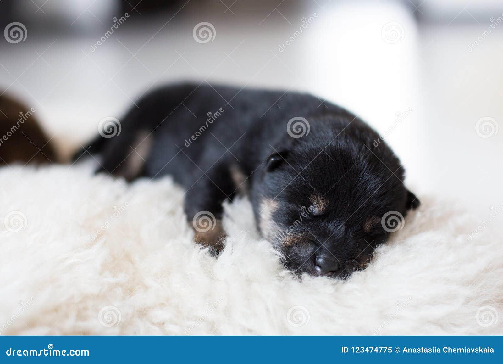 Close Up Portrait Of Beautiful Newborn Black And Tan Shiba Inu Puppy Sleeping On The Blanket Stock Image Image Of Sleep Indoor 123474775