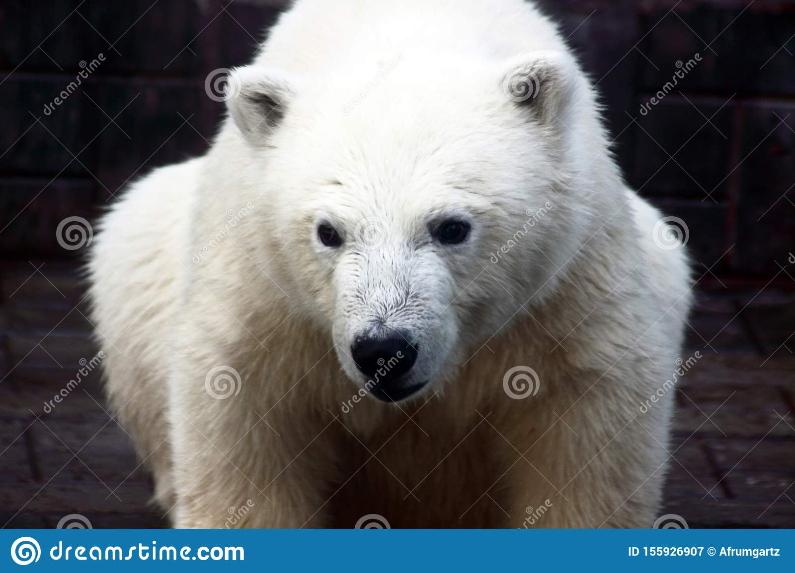 Close up portrait of polar bear