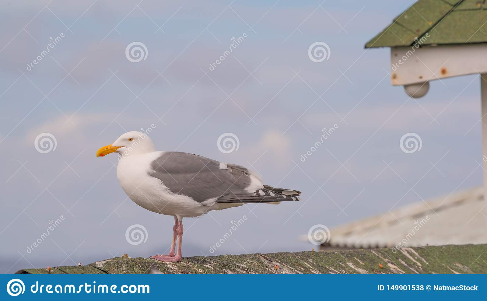Close up portrait of sea gull  on roof of structure with sunny blue skies and puffy white clouds in background - Fisherman