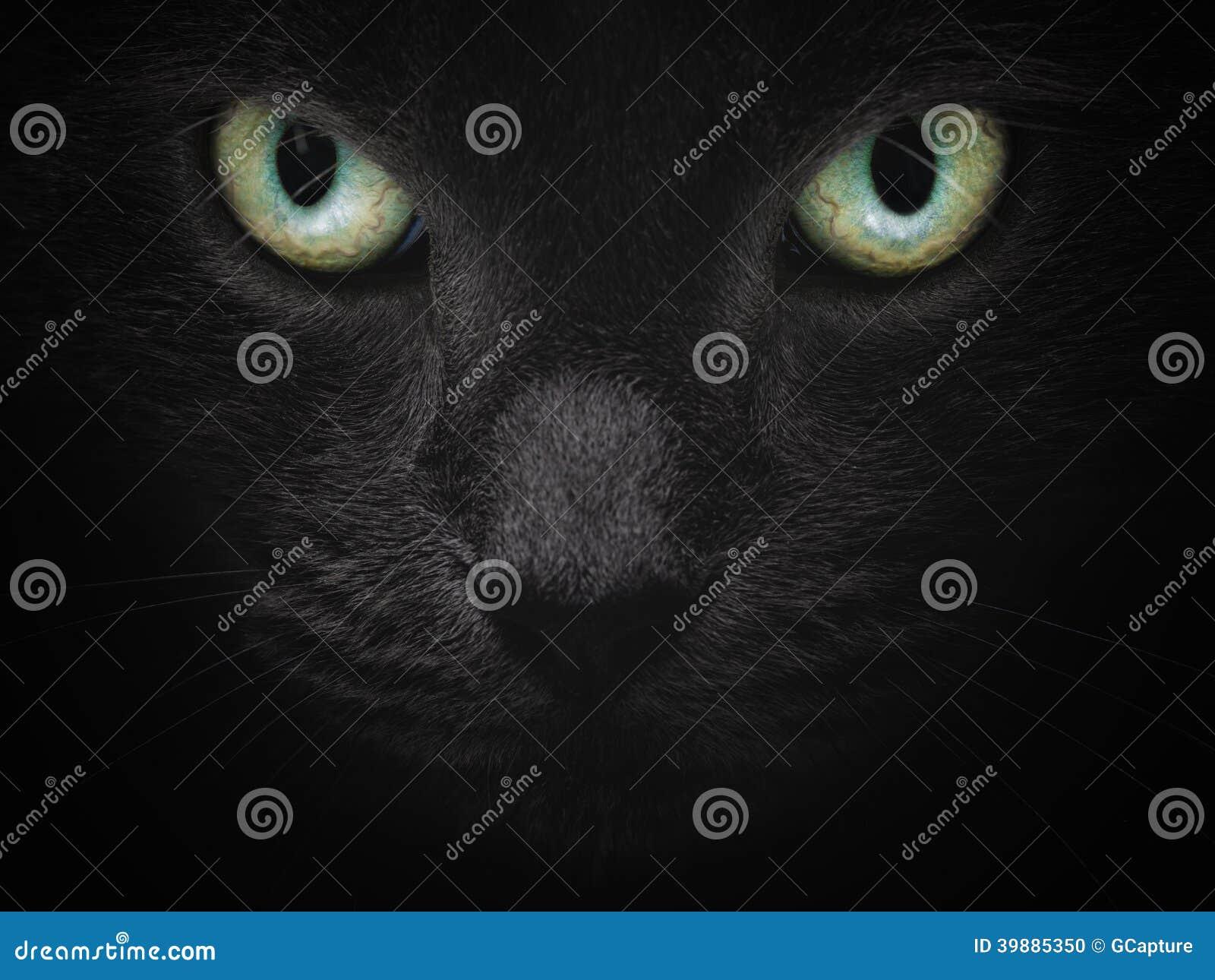Close up portrait of serious british shorhair cat