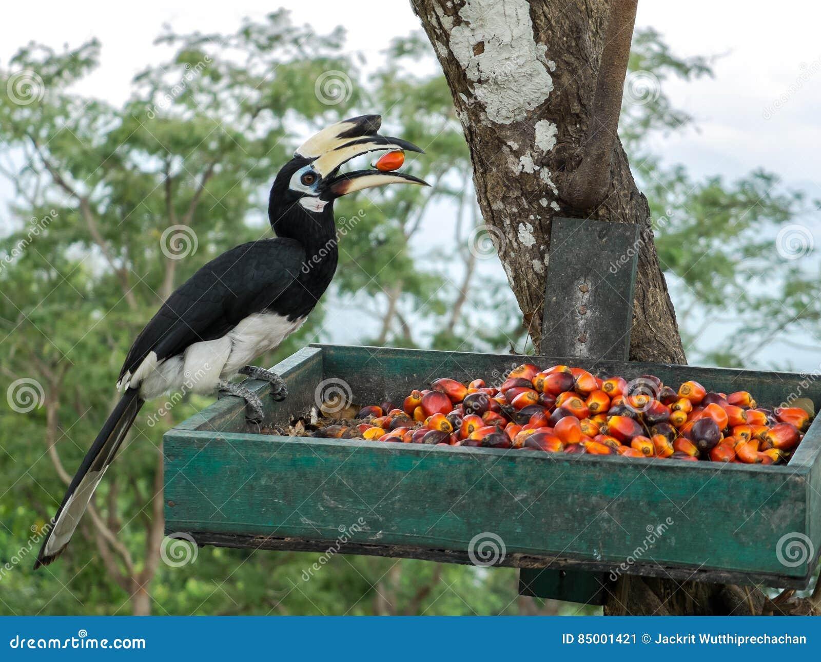 Close up portrait of Single Wild Oriental pied hornbill Bird Anthracoceros albirostris eating red wild fruits in Green Basket