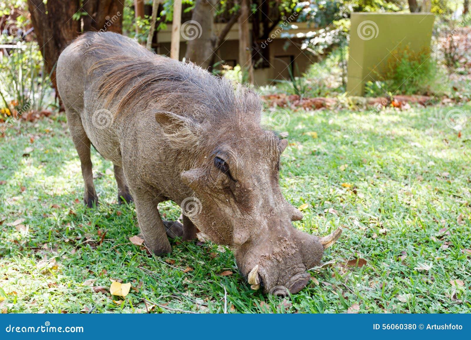 Close up portrait of wart hog male in campsite