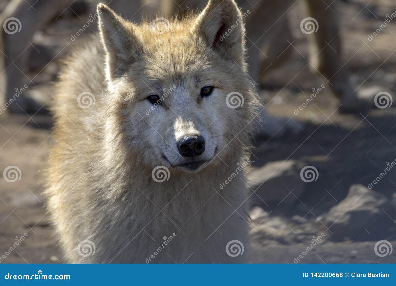 Close up portrait of a wolf.