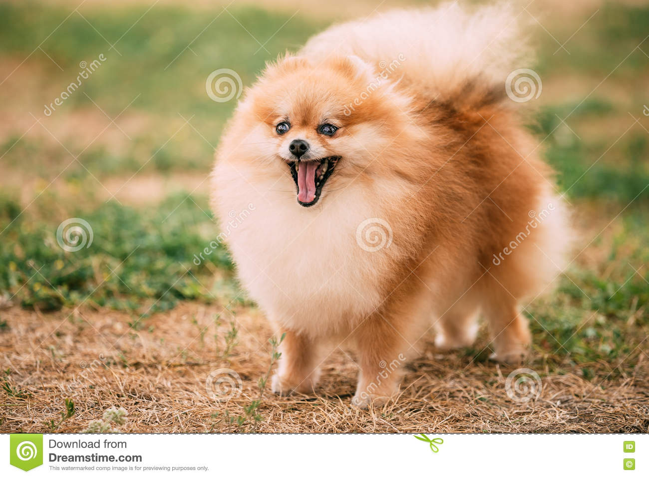 Close Up Portrait Of Young Happy Funny Red Pomeranian ...
