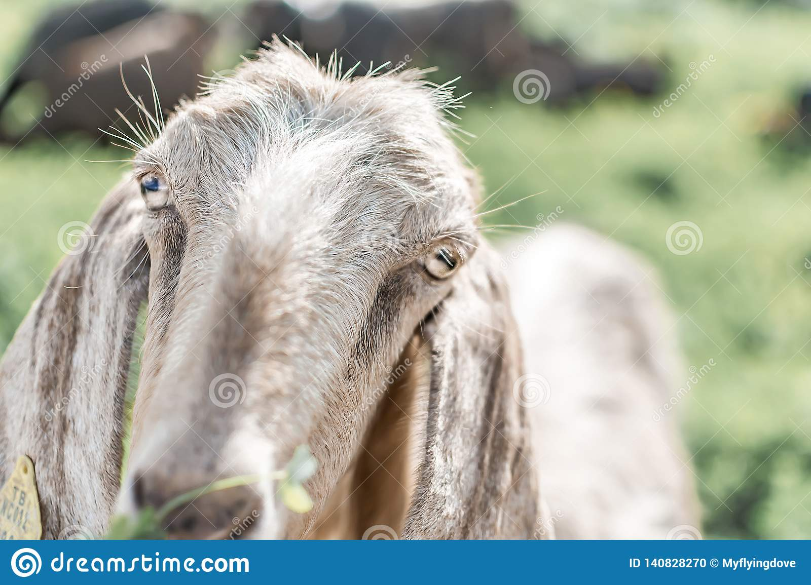 Close-up portrait of a young white goat looking at the camera. Front view. Anglo-Nubian breed of domestic goat