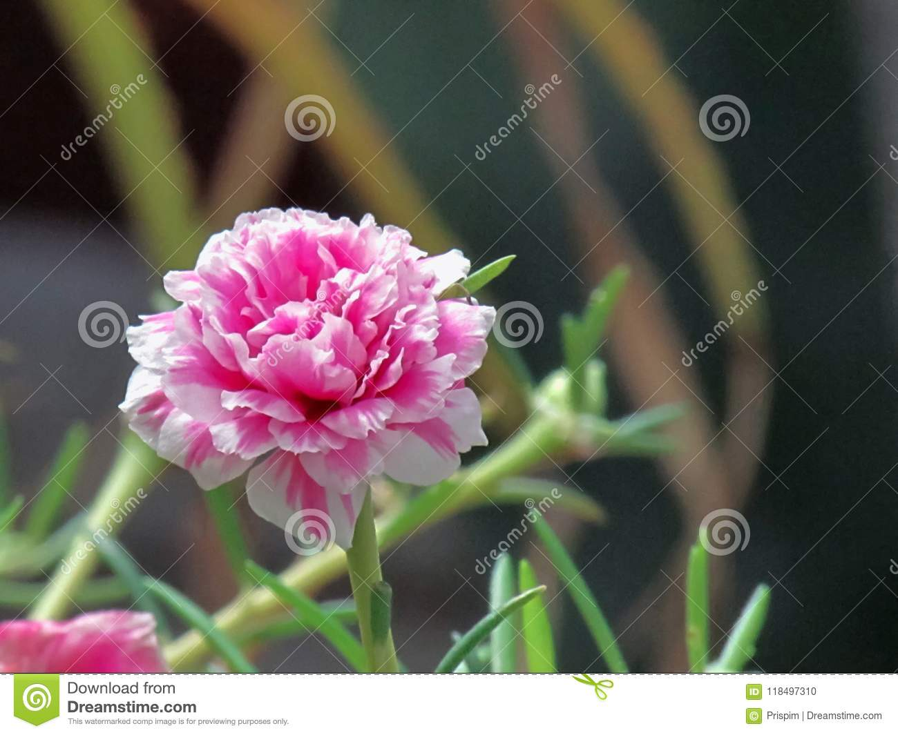 Portulaca flowers - decoration of any flower bed 53