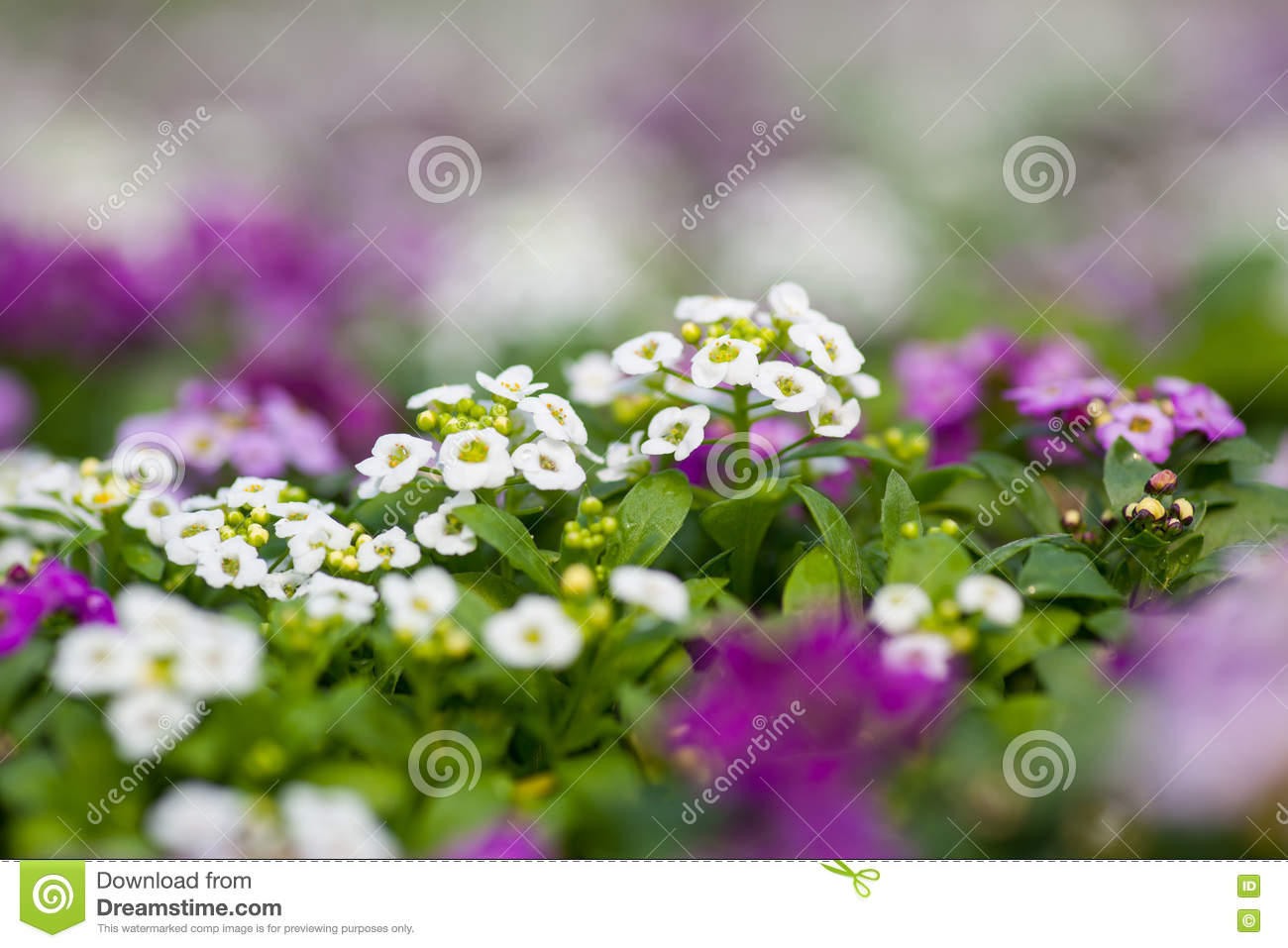 Close Up Of Pretty Pink White And Purple Alyssum Flowers The