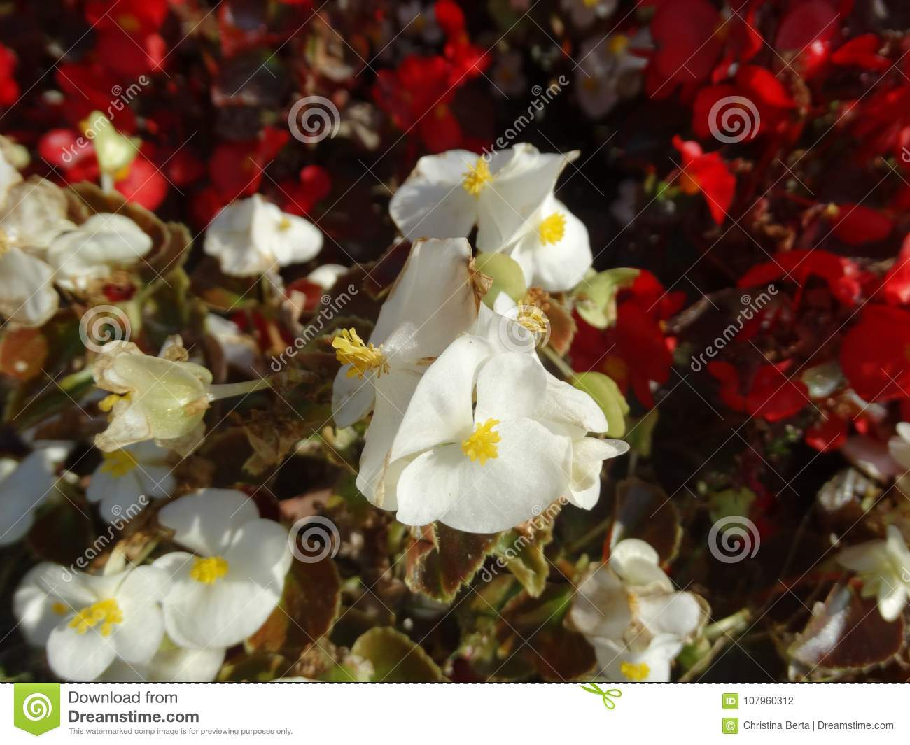 Close Up Of Pretty White Flowers With A Yellow Centre Stock Photo