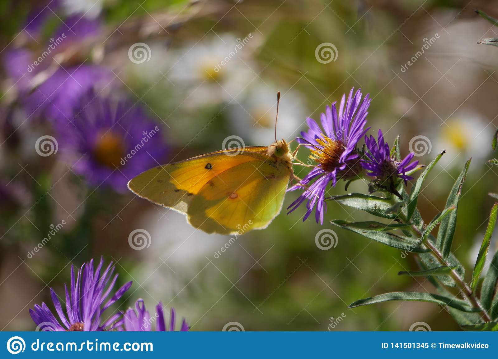 Close-up of pretty Yellow Butterfly on Purple Wildflower