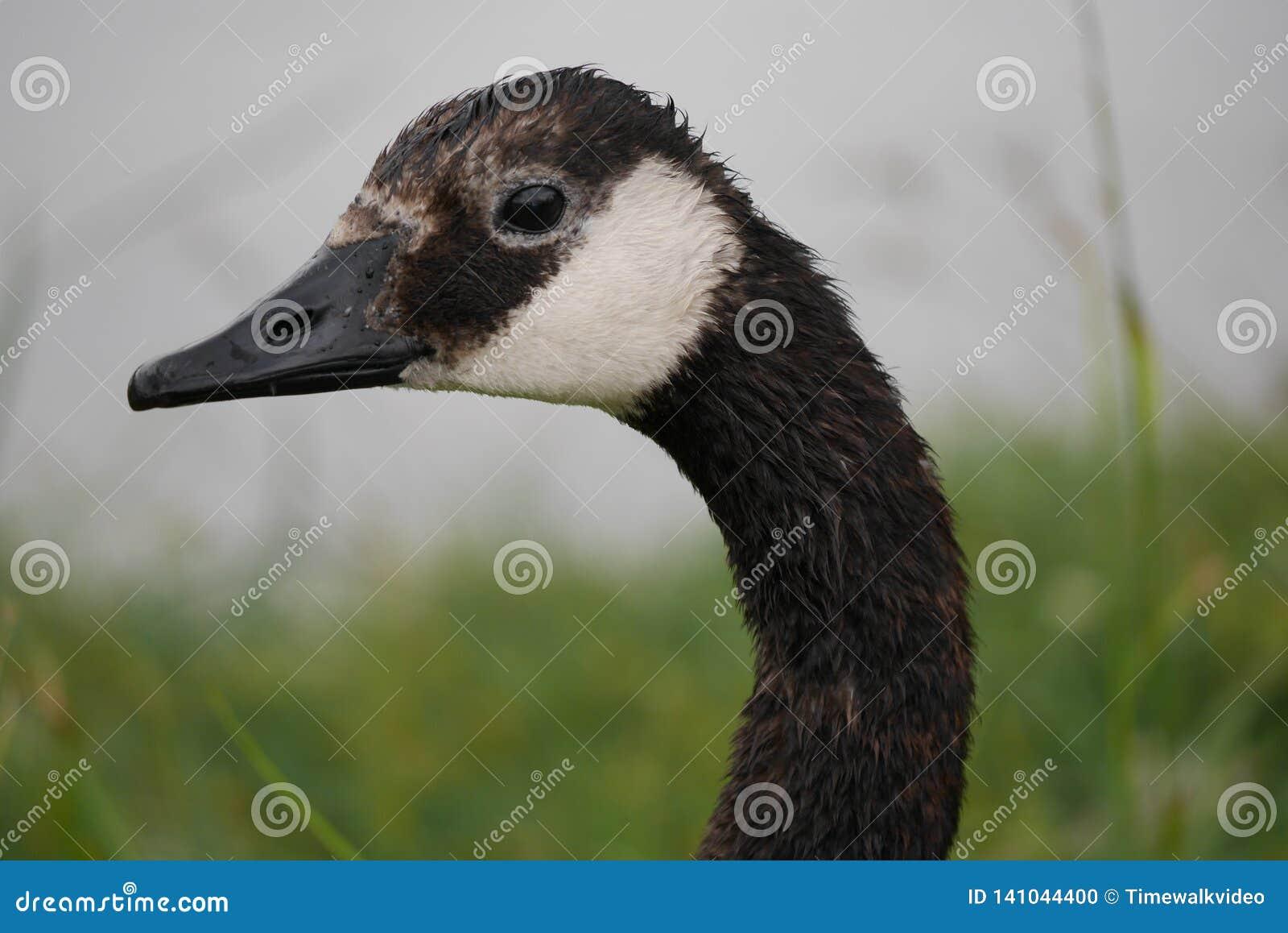 Close-Up Profile of Canadian Goose