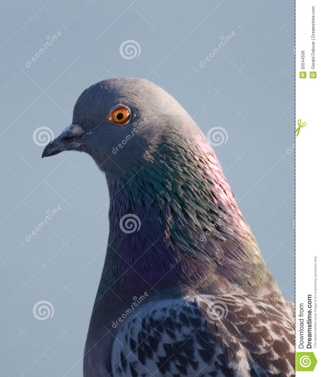 "pigeon plague in our cities' ""people will often say how amazing it is that pigeons survive our winters  new  york and paris and other major european cities have lots more pigeons,""  and  carry diseases — they were responsible for the bubonic plague."