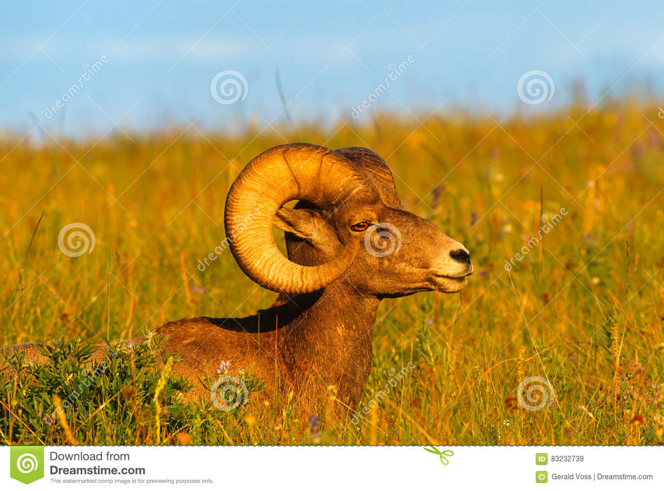 Download Close Up Profile Portrait Big Bighorn Sheep Ram Stock Image - Image of montana, mountain: 83232739