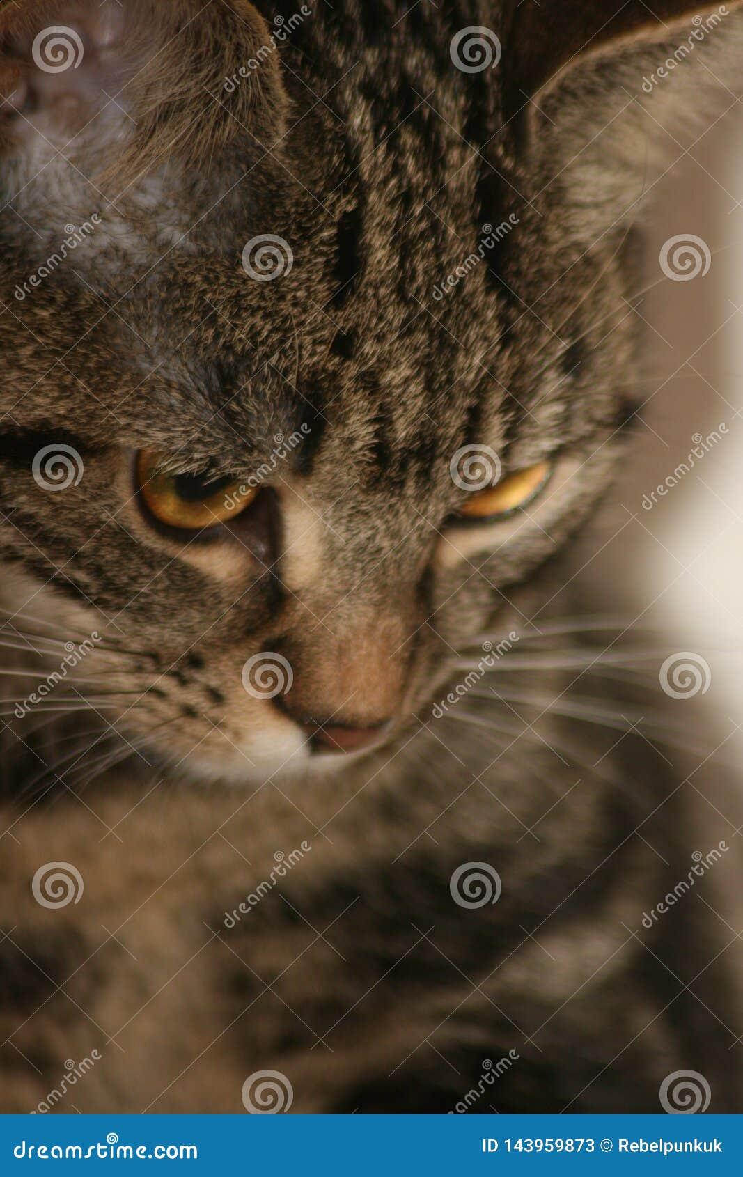 Portrait of short hair domestic tabby cat