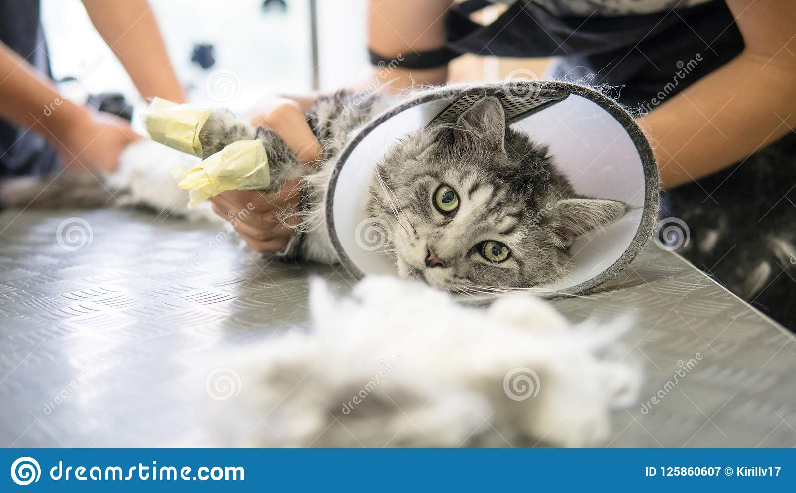 Close-up profissional de Maine Coon Cat Grooming