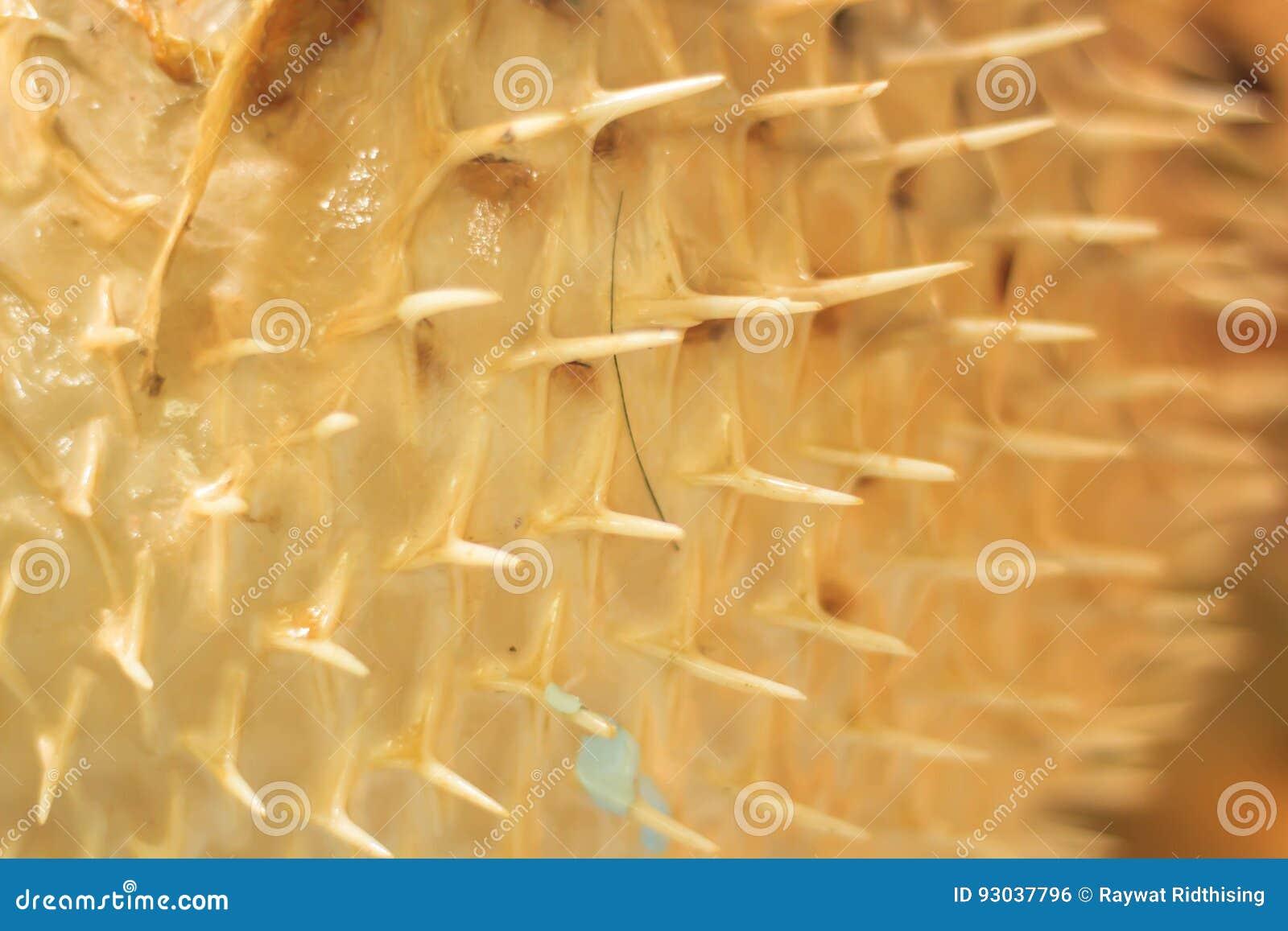 Close up Puffer fish skin