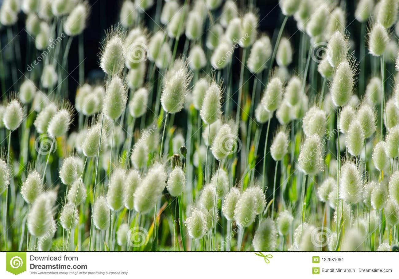Close up puffy white soft grass flowers in a spring season at a download close up puffy white soft grass flowers in a spring season at a botanical mightylinksfo