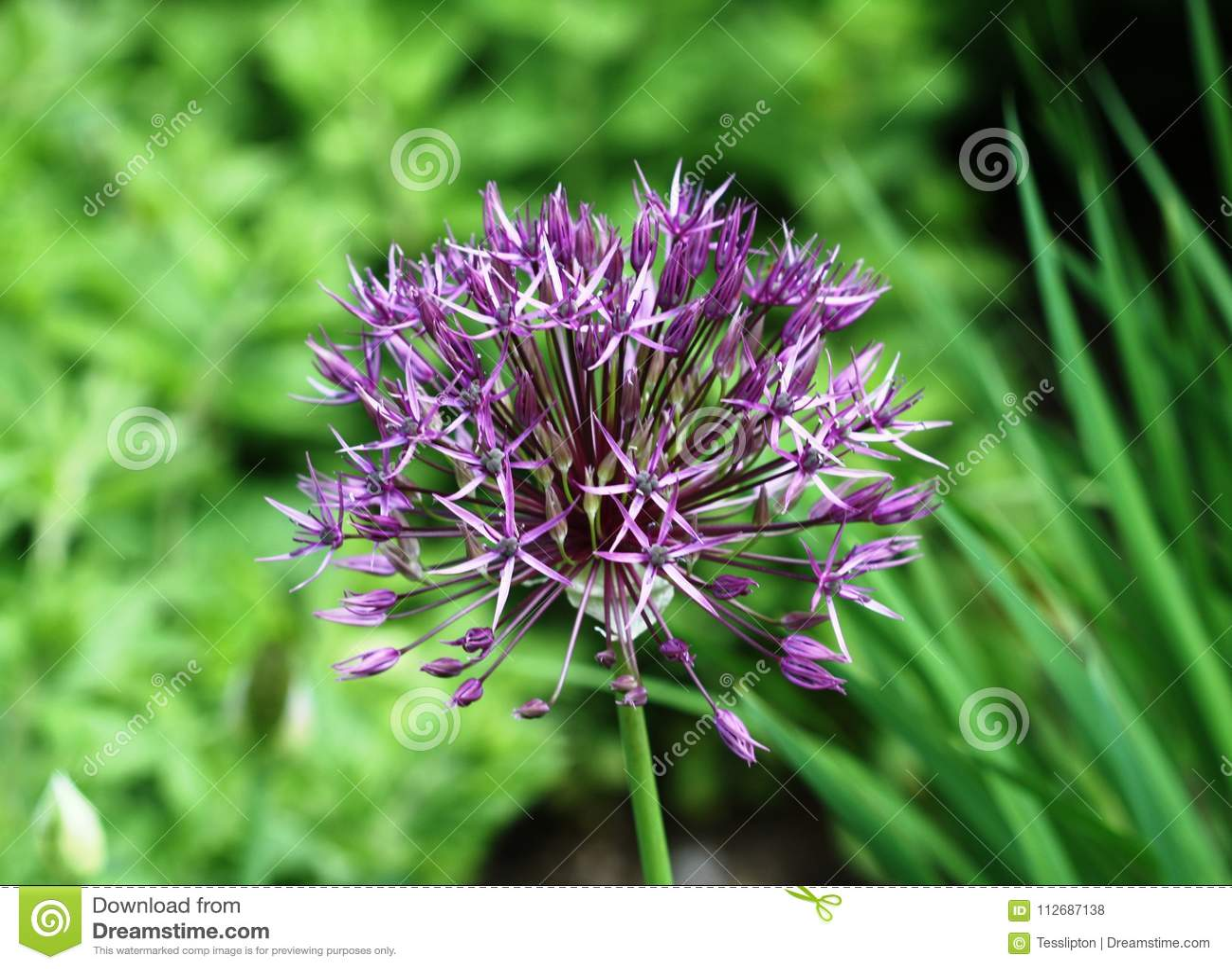 Close Up Purple Allium Flower Stock Photo Image Of Bulb Flowers