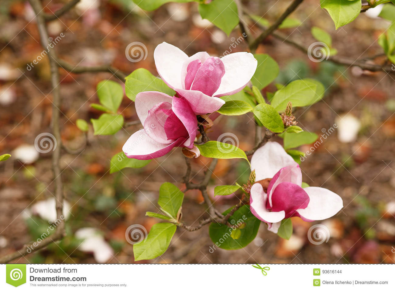 Close Up Of Purple Blooming Magnolia Blooming Magnolia Tree With
