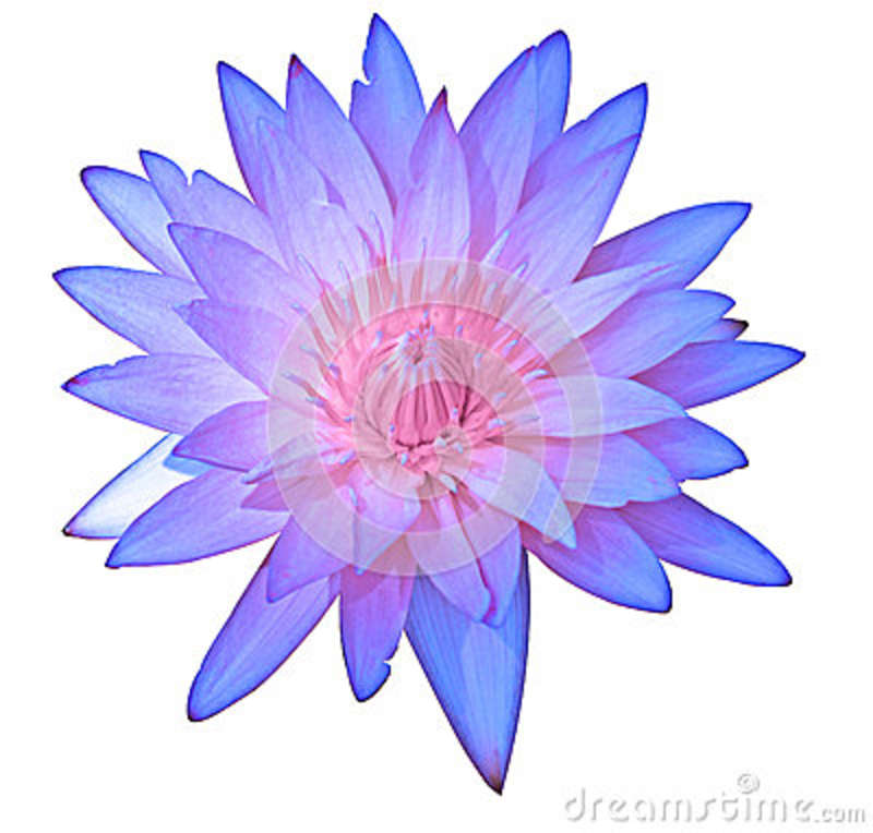 Close up purple color blooming water lily or lotus flower isolated on white
