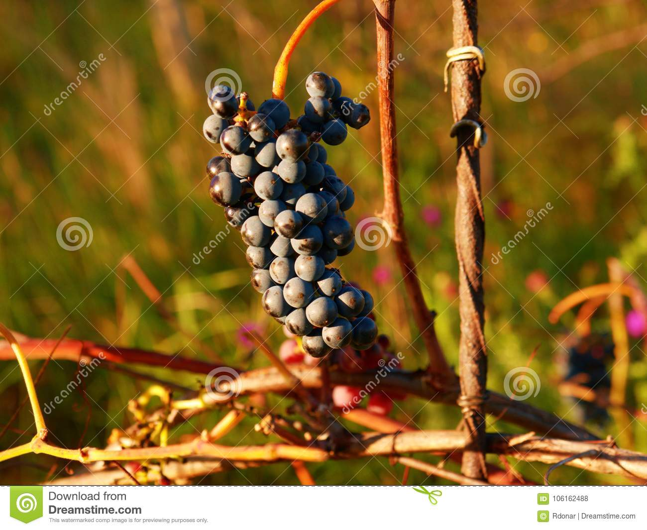 Close-up of purple common grape vine. Detailed view of a frozen grape vines in a vineyard