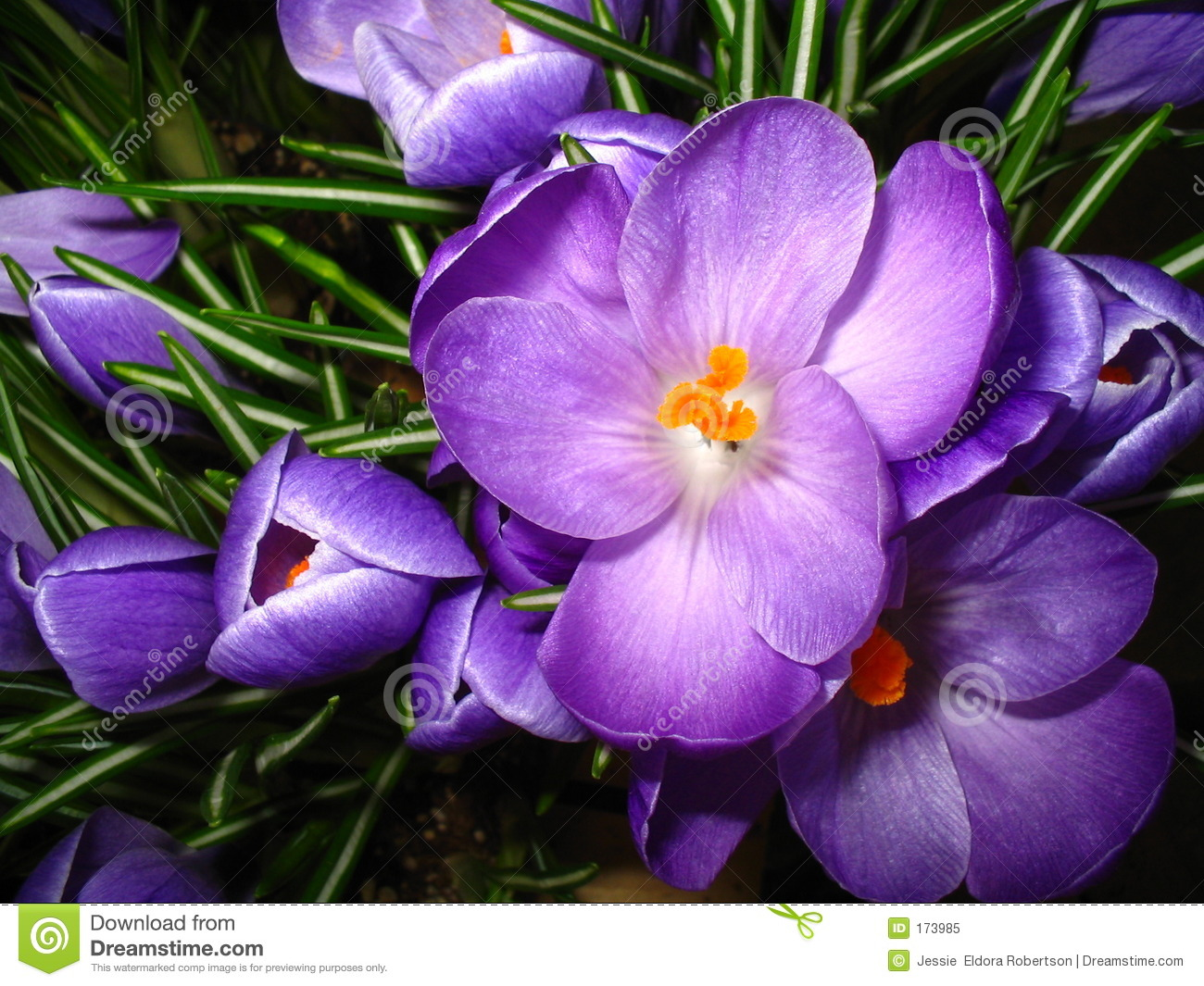 Close-up purple crocus flower