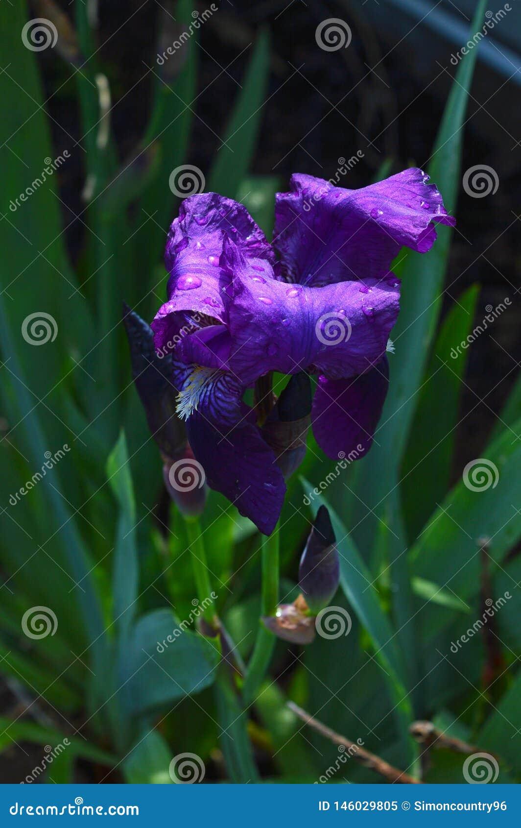 Close-up of a Purple Iris in Bloom, Nature, Macro