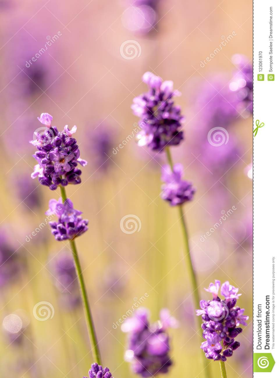 Close up purple lavender flowers with soft focus background
